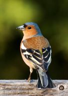Common Chaffinch (Fringilla coelebs) ©WikiC