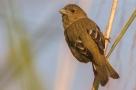 Common Rosefinch (Carpodacus erythrinus) ©Wik