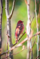 Common Rosefinch (Carpodacus erythrinus) ©WikiC