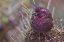 Dark-breasted Rosefinch (Carpodacus nipalensis) ©WikiC