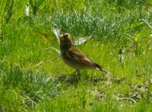 Eurasian Crimson-winged Finch (Rhodopechys sanguineus) ©WikiC