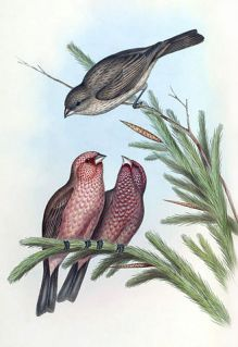 Great Rosefinch (Carpodacus rubicilla) ©Drawing WikiC