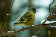 Grey-capped Greenfinch (Chloris sinica) ©WikiC