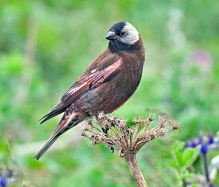 Grey-crowned Rosy Finch (Leucosticte tephrocotis) ©WikiC