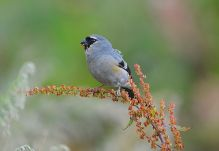 Grey-headed Bullfinch (Pyrrhula erythaca) ©WikiC