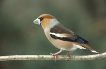 Hawfinch (Coccothraustes coccothraustes) ©WikiC
