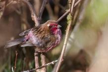 Himalayan Beautiful Rosefinch (Carpodacus pulcherrimus) ©WikiC