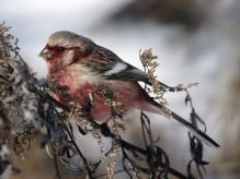 Long-tailed Rosefinch (Carpodacus sibiricus) ©WikiC