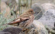 Mongolian Finch (Bucanetes mongolicus) ©WikiC