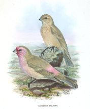 Pale Rosefinch (Carpodacus stoliczkae) ©Drawing WikiC