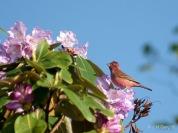Pink-browed Rosefinch (Carpodacus rodochroa) ©WikiC