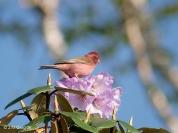 Pink-browed Rosefinch (Carpodacus rodochroa) ©Wiki