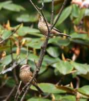 Pink-browed Rosefinch (Carpodacus rodochroa) Females ©WikiC