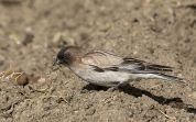 Plain Mountain Finch (Leucosticte nemoricola) ©WikiC