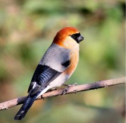 Red-headed Bullfinch (Pyrrhula erythrocephala) ©WikiC