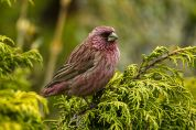 Red-mantled Rosefinch (Carpodacus rhodochlamys) ©WikiC