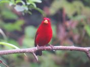 Scarlet Finch (Haematospiza sipahi) ©WikiC