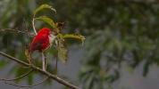 Scarlet Finch (Haematospiza sipahi) ©WikiC