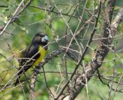 Spot-winged Grosbeak (Mycerobas melanozanthos) ©WikiC