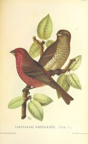 Streaked Rosefinch (Carpodacus rubicilloides) ©Drawing WikiC