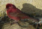 Taiwan Rosefinch (Carpodacus formosanus) ©WikiC