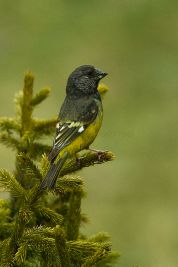 White-winged Grosbeak (Mycerobas carnipes) ©WikiC