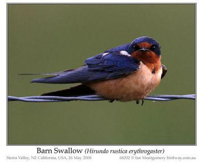 Barn Swallow (Hirundo rustica erythrogaster) by Ian