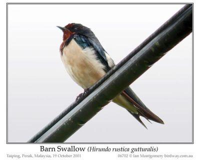 Barn Swallow (Hirundo rustica gutturalis) by Ian