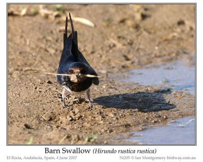 Barn Swallow (Hirundo rustica rustica) by Ian