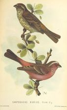 Chinese White-browed Rosefinch (Carpodacus dubius) ©Drawing WikiC