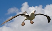 Albatross (Diomedea) ©Unknown