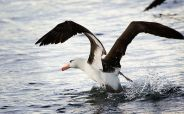 Black-browed Albatross launching into flight from the sea