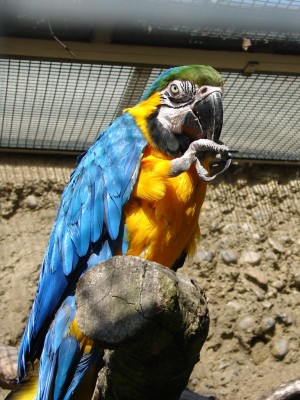 Blue-and-yellow Macaw (Ara ararauna) ©WikiC