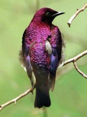 Purple Glossy Starling of Tanzania aka Purple Starling ©s-media-cashe.