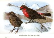 Red-fronted Rosefinch (Carpodacus puniceus) ©Drawing WikiC