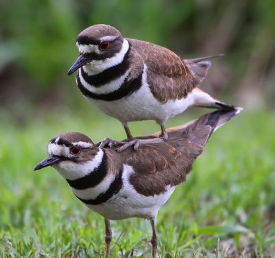 Killdeer Riding Piggyback - Silly Bird by Cutestspaw.com