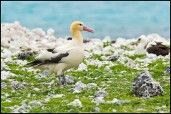 Steller's Albatross 2©U.S. Fish & Wildlife Service