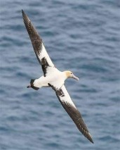 Steller's Albatross 3©U.S. Fish & Wildlife Service