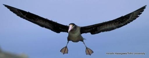 Steller's Albatross ©U.S. Fish & Wildlife Service