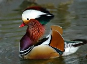 Struting Mandarin Duck from email