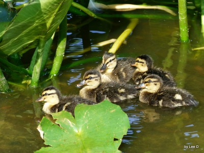 Ducklings at Lake Morton 4-13-16 by Lee