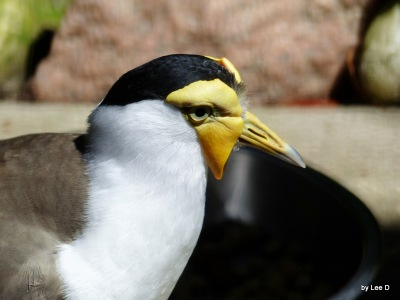 Masked Lapwing (Vanellus miles) by Lee at LPZ