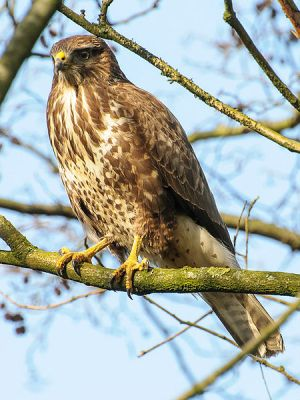 Common Buzzard (Buteo buteo) ©WikiC