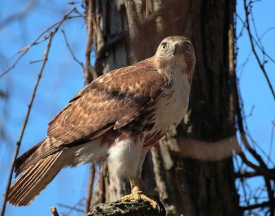 Red-tailed Hawk (Buteo jamaicensis) ©WikiC
