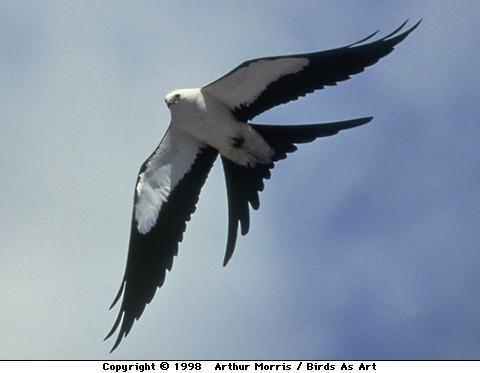 Swallow-tailed Kite (Elanoides forficatus) ©Arthur Morris-Birds As Art
