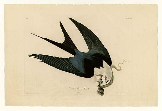 Swallow-tailed Kite (Elanoides forficatus) ©Drawing WikiC by John James Audubon