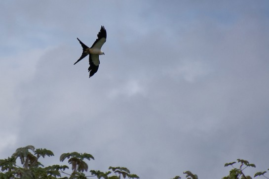 Swallow-tailed Kite (Elanoides forficatus) ©Flickr Alan Huett