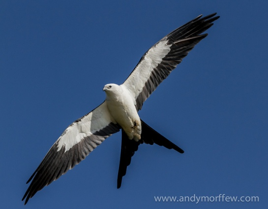 Swallow-tailed Kite (Elanoides forficatus) ©Flickr Andy Morffew