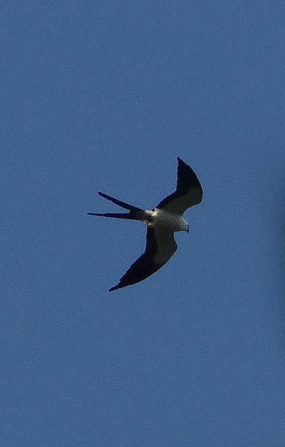 Swallow-tailed Kite (Elanoides forficatus) ©Flickr barloventomagico