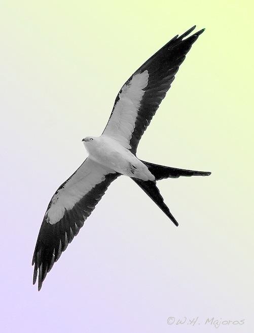 Swallow-tailed Kite (Elanoides forficatus) ©Flickr Bill Majoros